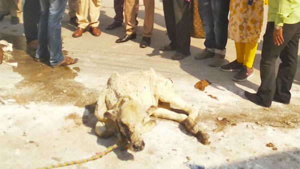 Cows In Vijayawada Struggling With A Strange New Disease