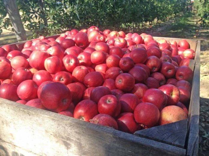 Trendsetter: Apple Farming In Telangana – New Income Source