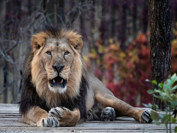 Eight Asiatic Lions Test Positive For Covid-19 At Hyderabad's Zoo Park